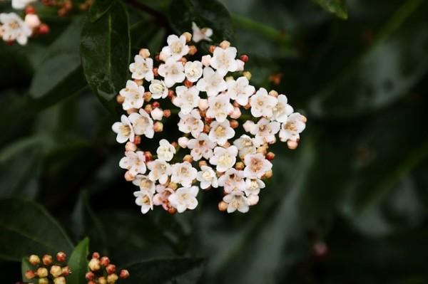 conoce-y-cultiva-la-skimmia-05