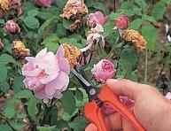 imagen Cortar las flores marchitas en verano