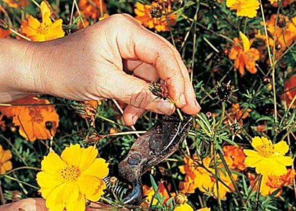 cortar-las-flores-marchitas-en-verano-04