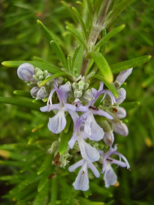 cultivar-plantas-que-repelen-insectos-03