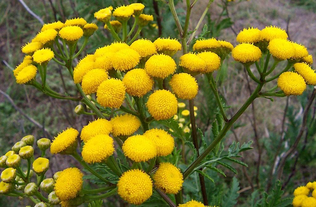 Cultivar plantas que repelen insectos y plagas - Plantas para ahuyentar insectos ...