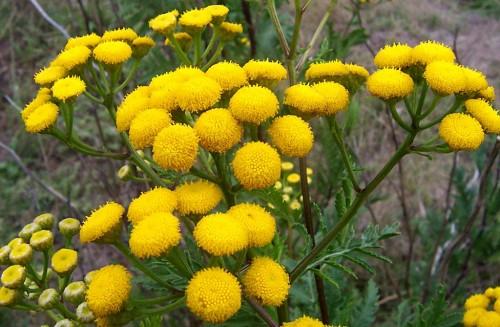 cultivar-plantas-que-repelen-insectos-04