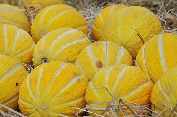 el-cultivo-del-melon-02