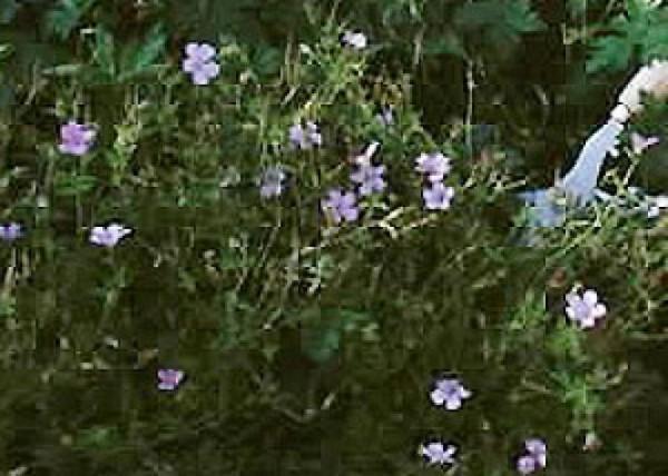 hacer-que-rosales-y-perennes-florezcan-de-nuevo-02