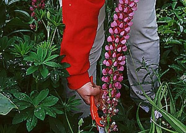 hacer-que-rosales-y-perennes-florezcan-de-nuevo-04