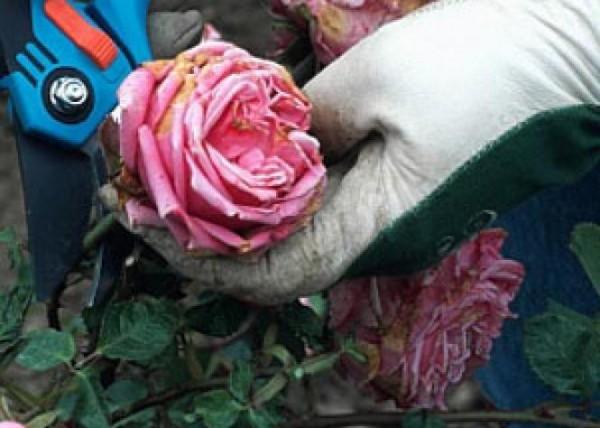 hacer-que-rosales-y-perennes-florezcan-de-nuevo-05