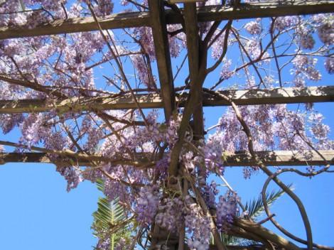 la-glicinia-o-wisteria-01