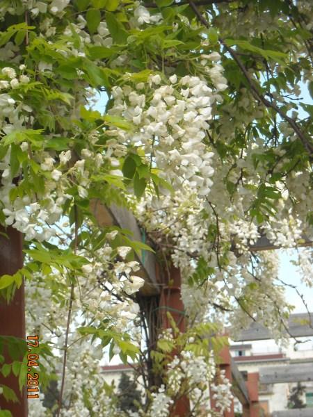la-glicinia-o-wisteria-02