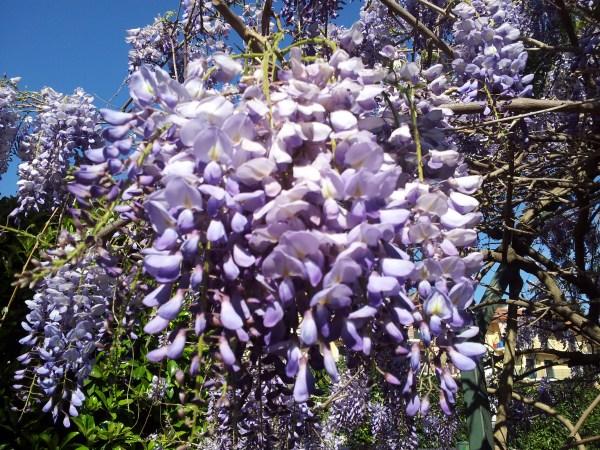 la-glicinia-o-wisteria-03