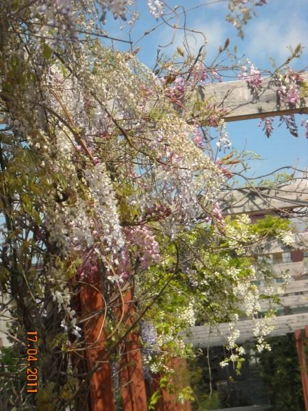 la-glicinia-o-wisteria-04