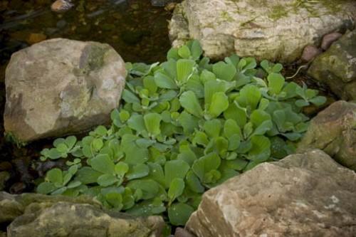 las-mejores-plantas-para-su-estanque-03