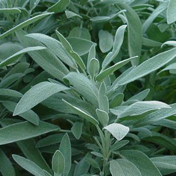 plantas-y-remedios-caseros-contra-los-mosquitos-03