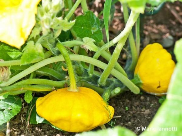 cultivar-calabazas-es-divertido-04