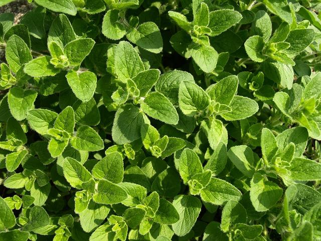 cultivo-y-conservacion-del-oregano-01