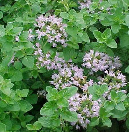 cultivo-y-conservacion-del-oregano-05