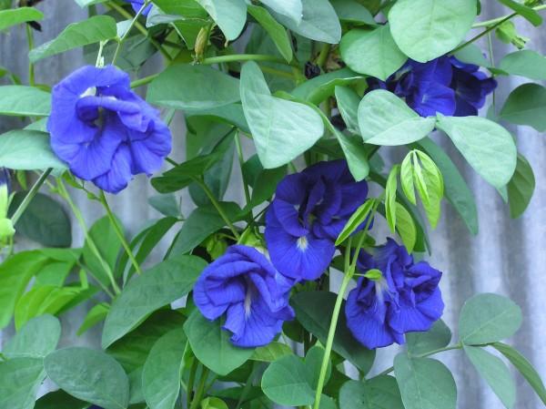 el-cultivo-de-la-conchita-azul-01