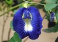imagen El cultivo de la conchita azul