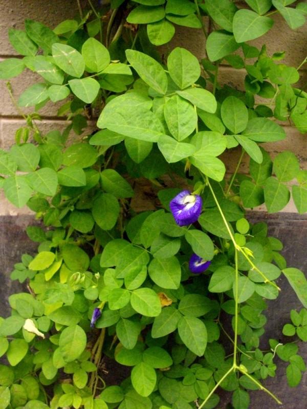 el-cultivo-de-la-conchita-azul-03