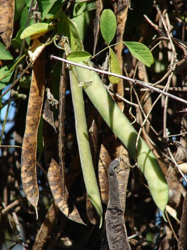 el-cultivo-de-la-conchita-azul-04