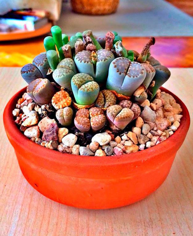 El lithops o cactus piedra for Como plantar cactus