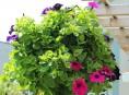 imagen Cómo preparar una cesta colgante con flores