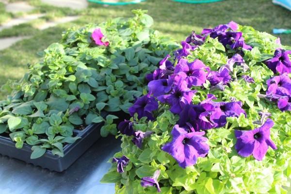 como-preparar-una-cesta-colgante-con-flores-02