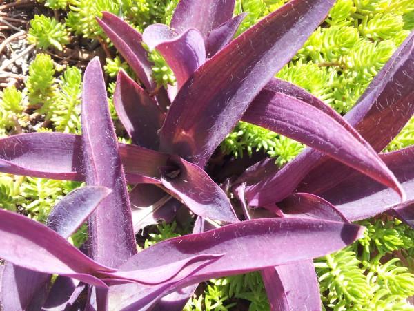 cultivo-de-la-tradescantia-purpurea-02