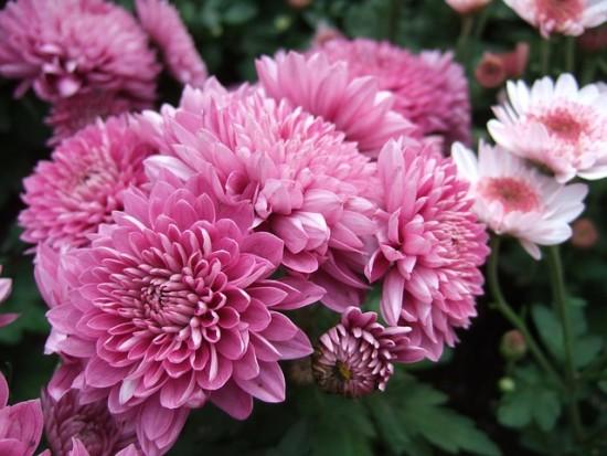 el-crisantemo-la-reina-del-jardin-otonal-02