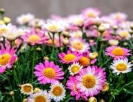 imagen El crisantemo, la flor más bella del jardín otoñal