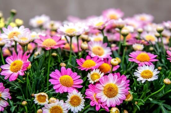 el-crisantemo-la-reina-del-jardin-otonal-03