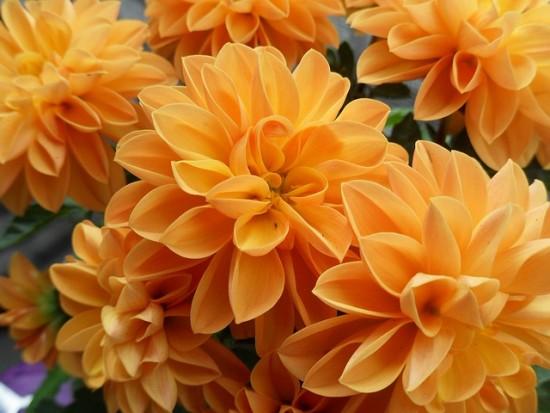 el-crisantemo-la-reina-del-jardin-otonal-04