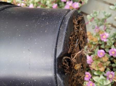el-cultivo-de-la-azalea-05