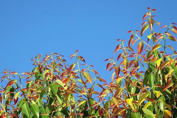 el-cultivo-del-arbol-de-la-canela-02
