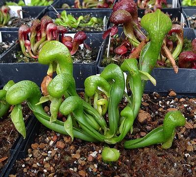 el-lirio-cobra-una-curiosa-planta-carnivora-02