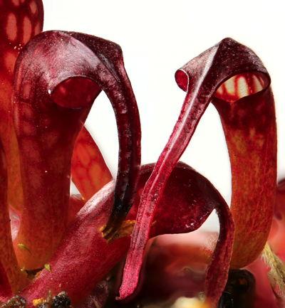 el-lirio-cobra-una-curiosa-planta-carnivora-05