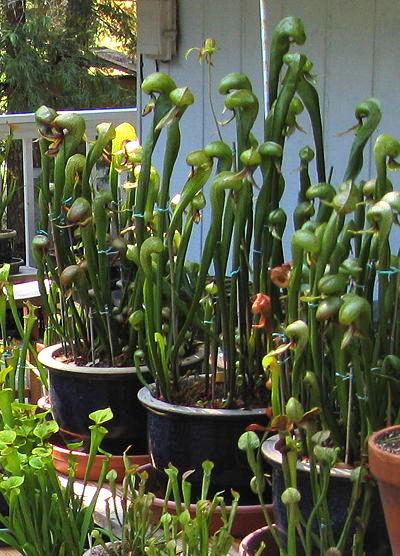 el-lirio-cobra-una-curiosa-planta-carnivora-06