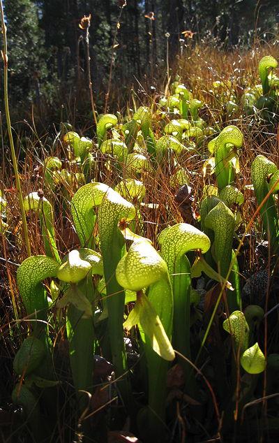 el-lirio-cobra-una-curiosa-planta-carnivora-07