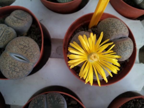 el-lithops-o-cactus-piedra-01