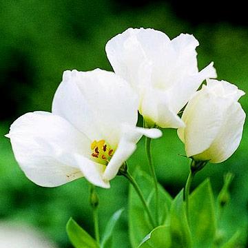 la-eustoma-grandiflora-03