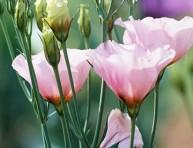 imagen La Eustoma grandiflora