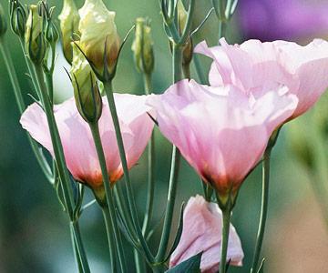 la-eustoma-grandiflora-04