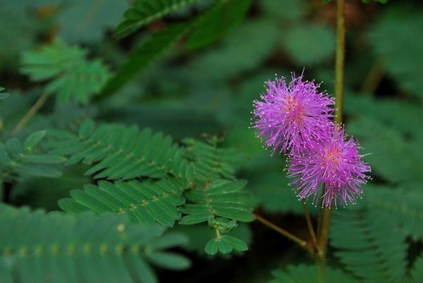 la-mimosa-una-planta-sensible-01