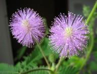 imagen La mimosa pudica, una planta sensible