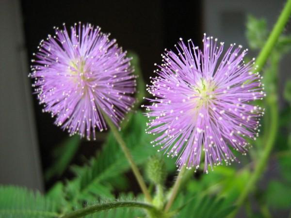 la-mimosa-una-planta-sensible-02