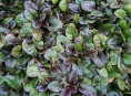 imagen Conoce la búgula, una planta tapizante