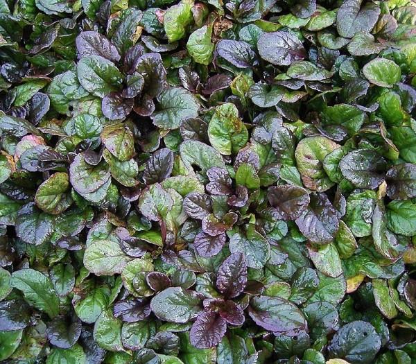 conoce-la-bugula-una-planta-tapizante-01
