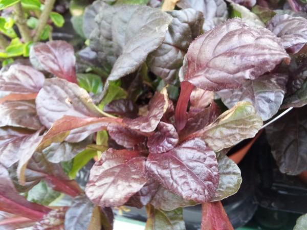 conoce-la-bugula-una-planta-tapizante-02