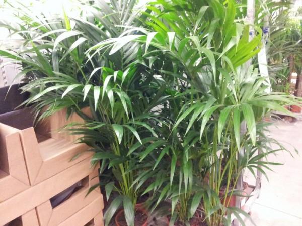 cultivar-palmeras-de-interior-01