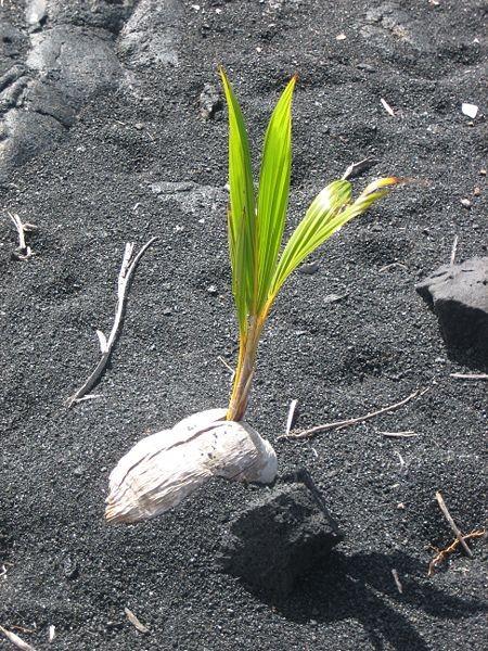 cultivar-palmeras-de-interior-02