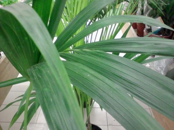 cultivar-palmeras-de-interior-03